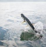 Saltar dos peixes do tarpão da água - calafate de Caye, Belize fotos de stock royalty free