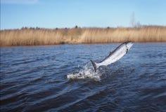 Saltar dos salmões da água Imagem de Stock Royalty Free