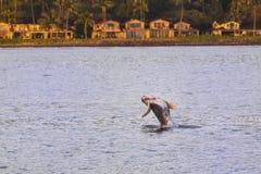 Saltar novo da vitela da baleia da água que joga em Maui Havaí imagem de stock royalty free