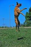 Saltare allegro del pugile Fotografie Stock Libere da Diritti