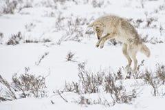Saltare coyote fotografia stock libera da diritti