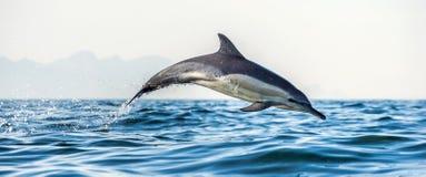 Saltare del delfino dell'acqua Il delfino comune A lungo con becco immagine stock libera da diritti