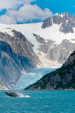 Saltare della megattera dell'acqua davanti al ghiacciaio in Alask Fotografia Stock