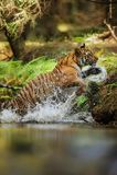 Saltare della tigre del fiume con la spruzzatura delle gocce di acqua intorno Animale di potere ed aggressivo Caccia e movimento  immagini stock libere da diritti