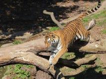 Saltare della tigre siberiana Fotografie Stock