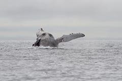 Saltare a dorso d'asino della balena dell'acqua dell'oceano Pacifico dentro Fotografia Stock Libera da Diritti