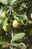 United Kingdom. Saltash England, UK - August 21, 2015: Apples in Cotehele park, near Saltash, Cornwall, England, United Kingdom royalty free stock photo