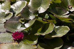 United Kingdom. Saltash England, UK - August 21, 2015: Ninfee in Cotehele park, near Saltash, Cornwall, England, United Kingdom stock photography