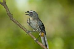 Saltator grisâtre Photographie stock libre de droits