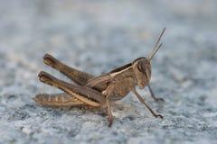 Saltatore dell'erba di Brown Fotografia Stock