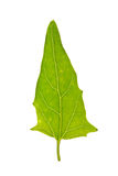 Saltbush绿色叶子在白色隔绝了 库存图片