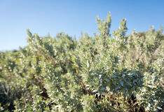 Saltbush Photographie stock