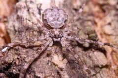 Salte a aranha Imagem de Stock