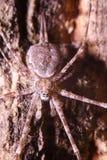 Salte a aranha Imagens de Stock