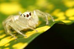 Salte a aranha Fotografia de Stock Royalty Free