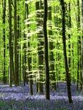 Salte con la alfombra de las campanillas (Hyacinthoides no--scripta) en Hallerbos, Bélgica Fotos de archivo