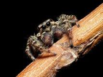 Salte la araña Foto de archivo