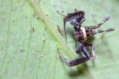Salte la araña Foto de archivo libre de regalías