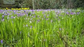 Salte no jardim, narcisos amarelos, flores do açafrão na flor Imagens de Stock