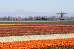 Salte no vento vermelho holandês das flores das tulipas do campo de flor da tulipa Fotografia de Stock