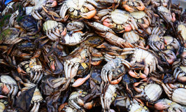 Salted crab , crab in mangrove forest Royalty Free Stock Photo