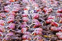 Salted crab. Are ingredient for thai food Royalty Free Stock Photo