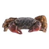Salted Crab Isolated Stock Photography