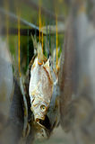 Salted fish. A salt preserved fish being dried Royalty Free Stock Photography