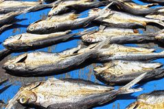 Salted fish, cut into half and lay out for drying on a wooden floor stock images