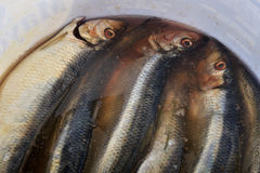 Salted herrings in a bucket, Royalty Free Stock Photography