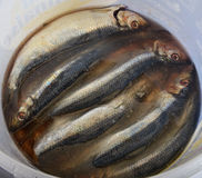 Salted herrings in a bucket, Stock Photo