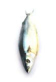 Salted Pacific saury (Cololabis saira) Stock Photography