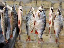 Salted river fish hung on hooks and dried in the open air royalty free stock photos