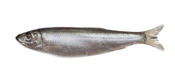 Salted sprat fish Stock Photo