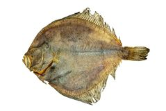 Salted turbot flatfish Stock Photography