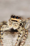 Salticid spider. A salticid spider with big eyes Stock Photography