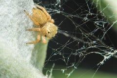 Salticidae跳跃的蜘蛛,撒盐饼干scenics, Hyllus宏指令视图 库存照片