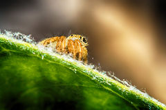 Salticidae跳跃的蜘蛛,撒盐饼干scenics, Hyllus宏指令视图 免版税库存照片