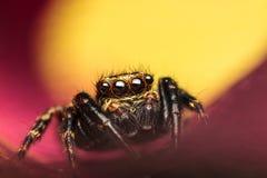 Salticidae banhoppningspindel Royaltyfri Bild