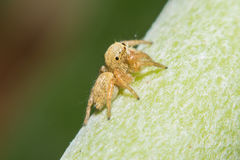 Salticidae banhoppningspindel, Saltinesscenics, Hyllus makrosikt Royaltyfria Foton