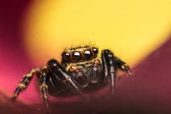 Salticidae jumping spider. Extreme magnification of Pseudeuophrys lanigera male jumping spider from Salticidae family of spiders, against colorful background Royalty Free Stock Image