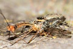 Salticidae med rovet royaltyfri bild