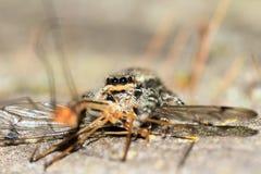 Salticidae med rovet royaltyfri foto
