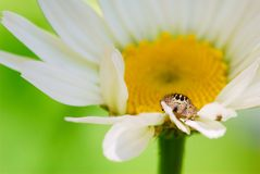 Salticidae spider. Tiny salticidae spider hidden between the white petals of a daisy royalty free stock image