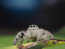 Salticus scenicus跳的蜘蛛 免版税库存图片