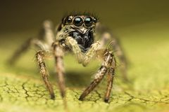 Salticus scenicus jumping spider. Salticus scenicus female jumping spider extreme closeup, with big black reflective eyes, standing on a green leaf Royalty Free Stock Photo