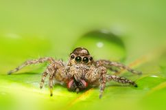 Salticus scenicus jumping spider. royalty free stock images
