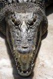 Saltie. Close-up of an Australian Saltwater Crocodile - Crocodylus Porosus Stock Photo