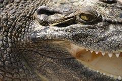 Saltie. Close-up of an Australian Saltwater Crocodile - Crocodylus Porosus Royalty Free Stock Photography