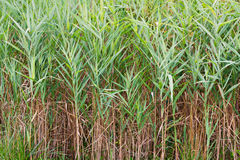 Saltmarsh Cordgrass stock foto
